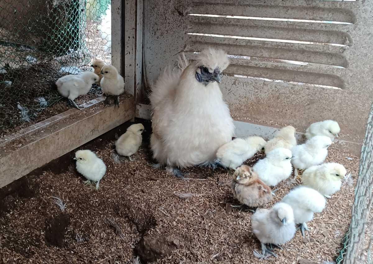 烏骨鶏の有精卵1個150円_画像8