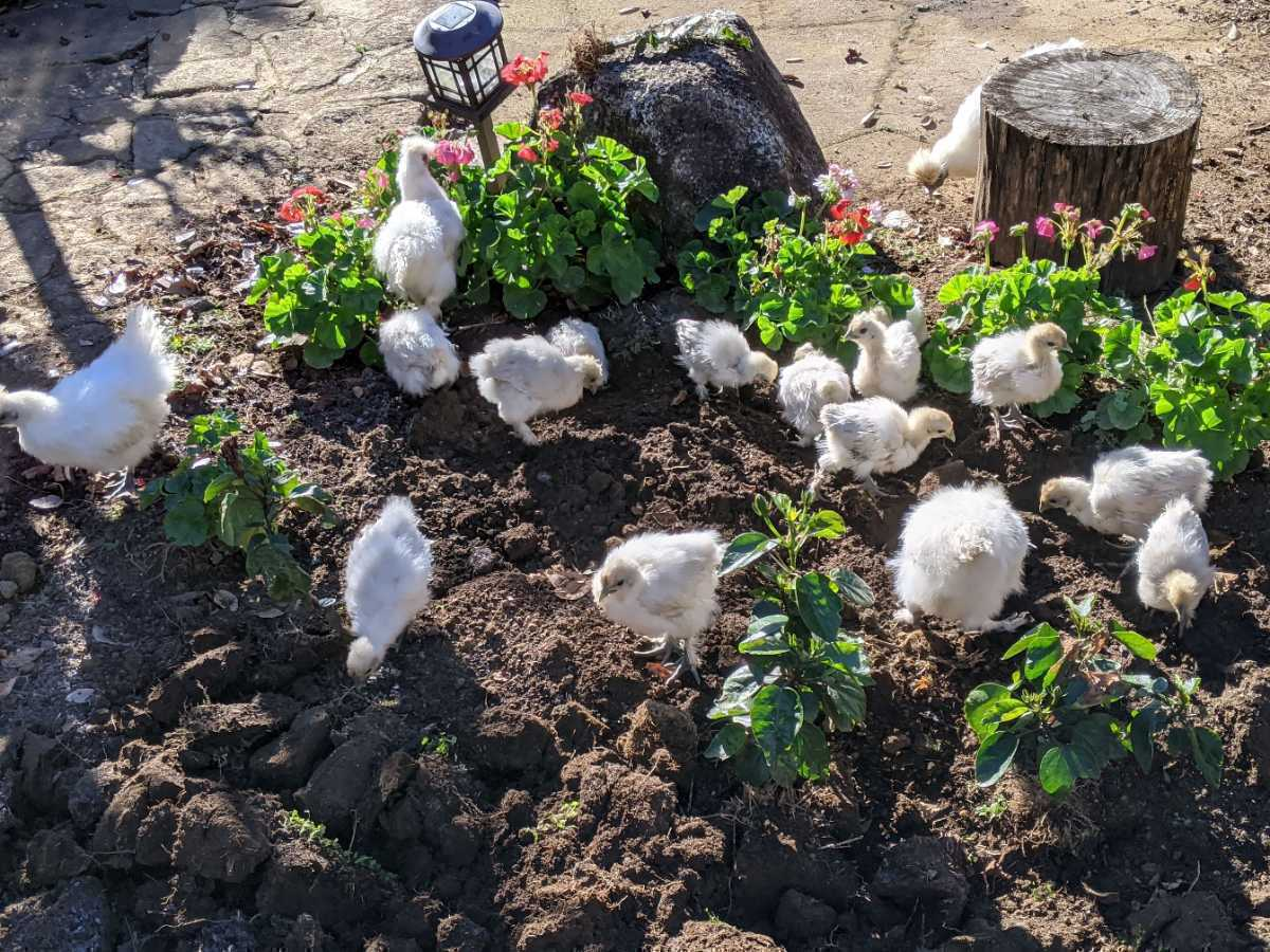 烏骨鶏の有精卵1個150円_画像2