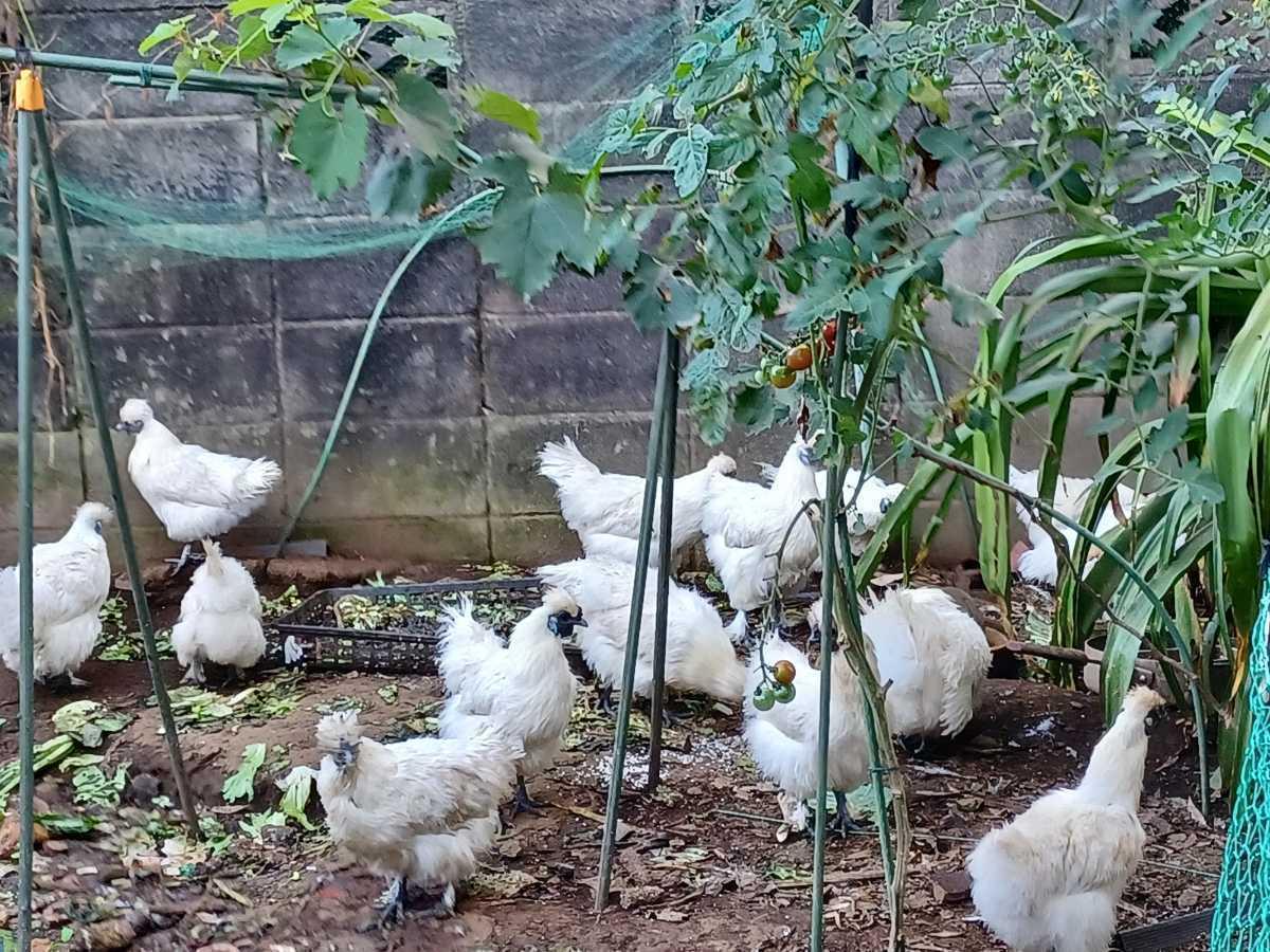 烏骨鶏の有精卵1個150円_画像6