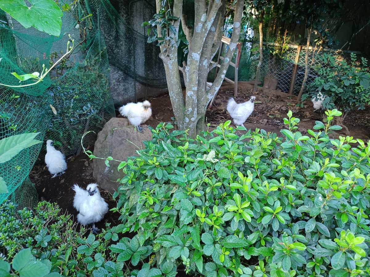 烏骨鶏の有精卵1個150円_画像3