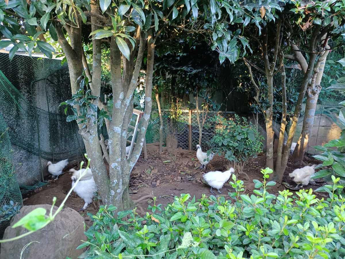 烏骨鶏の有精卵1個150円_画像4