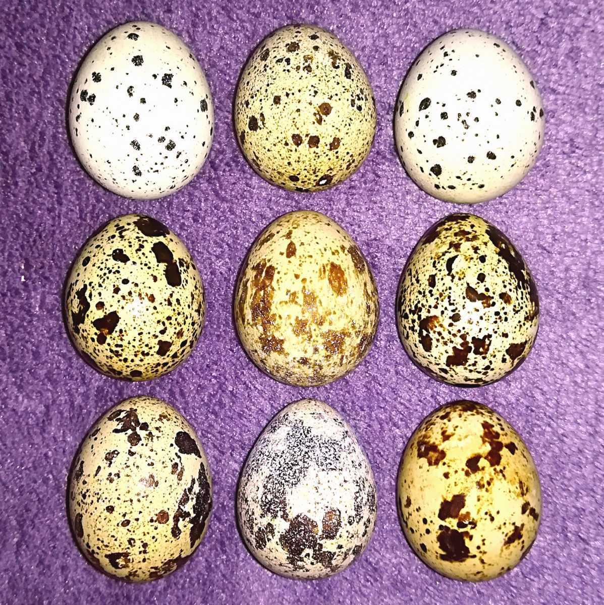 並うずらの有精卵6個 色変わり並ウズラの種卵_画像1