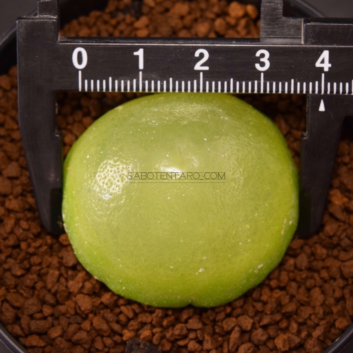 Conophytum brugeri 直径約40mm コノフィツム ブルゲリ 多肉植物 サボテン