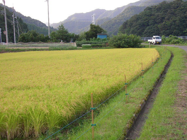 鳥取県令和3年産減農薬 新米ひとめぼれ玄米10kg送料無料 精米無料 _画像2