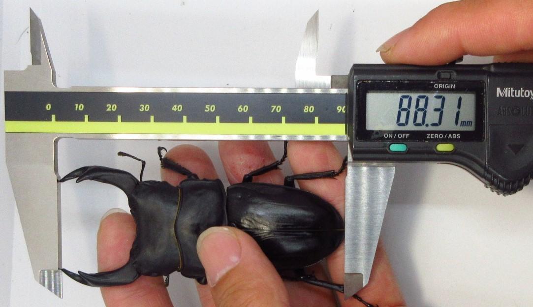 【能勢YG血統】オオクワガタ 89.2mm・88.3mm同腹 新成虫♀57.0mm(YG20A1-14)単品 難あり_画像9