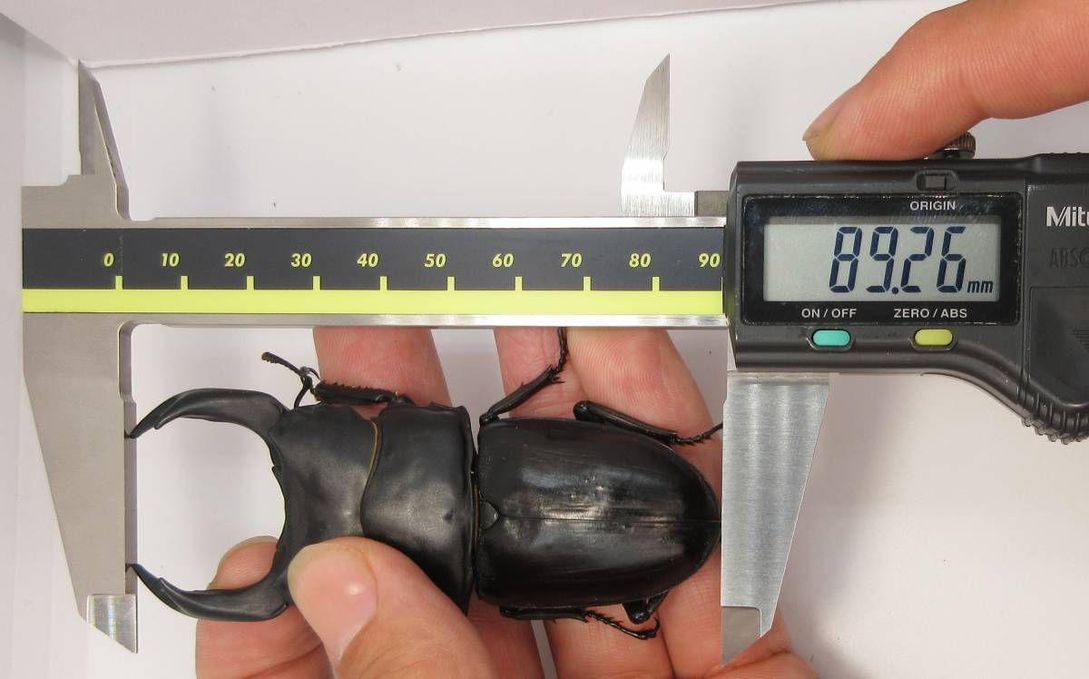 【能勢YG血統】オオクワガタ 89.2mm・88.3mm同腹 新成虫♀57.0mm(YG20A1-14)単品 難あり_画像8