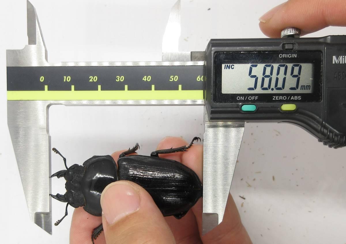 【能勢YG血統】オオクワガタ 89.2mm・88.3mm同腹 新成虫♀57.0mm(YG20A1-14)単品 難あり_画像5