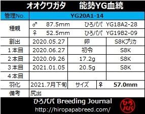 【能勢YG血統】オオクワガタ 89.2mm・88.3mm同腹 新成虫♀57.0mm(YG20A1-14)単品 難あり_画像6