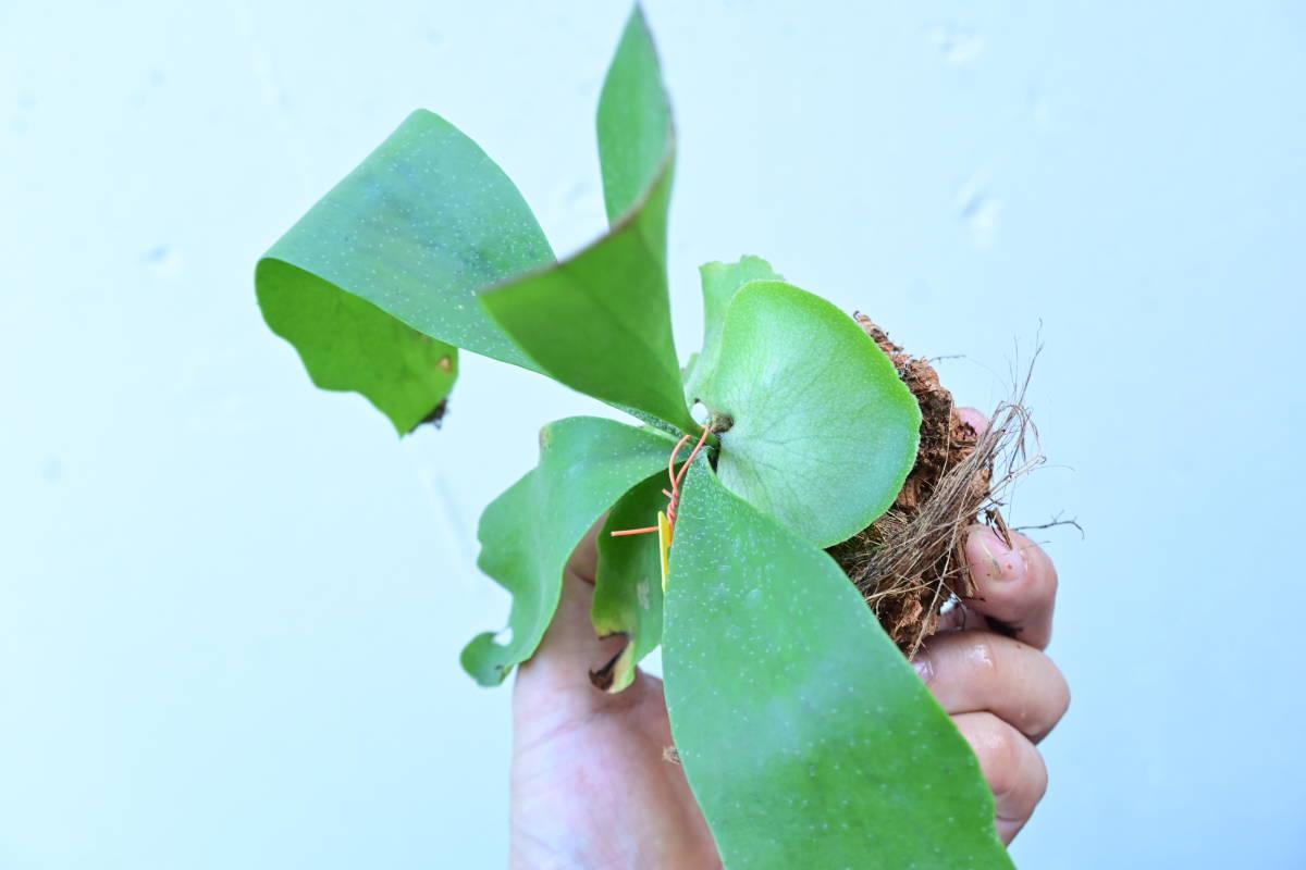 P.hillii hybrid(P.hillii×P.willinckii)②  @bikamori.com ビカクシダ ヒリーハイブリッド