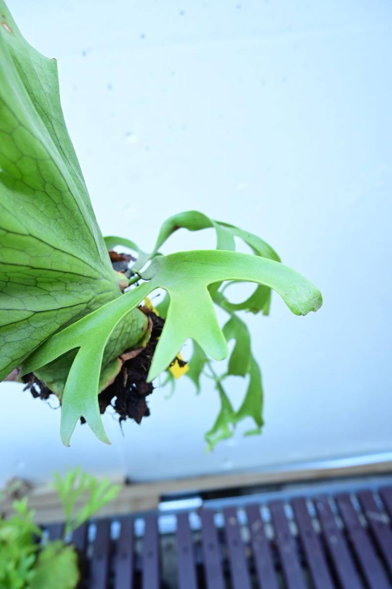 P.coronarium cv.white④ @bikamori.com コロナリウム ビカクシダ