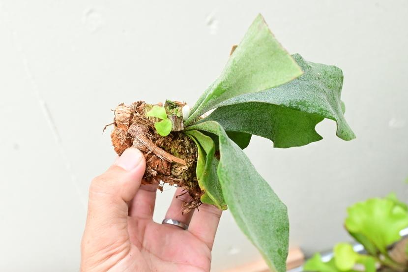 P.griffin(P.veitchii x P.diversifolium) ⑦  @bikamori.com ビカクシダ グリフィン