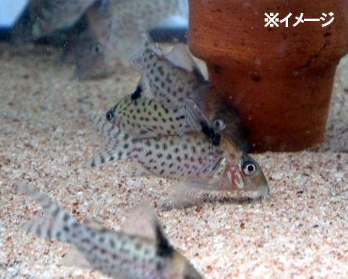熱帯魚 コリドラス・アガシジィ 1匹 ※雄雌のご指定不可_画像2
