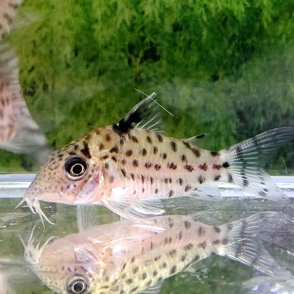 熱帯魚 コリドラス・アガシジィ 1匹 ※雄雌のご指定不可_画像1