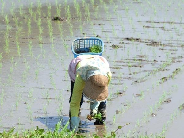愛媛 三間産 伊達米 減農薬 特別栽培米 令和2年産 ( もち米 ) 玄米 30kg 送料無料 百姓から直送 宇和海の幸問屋_田植え