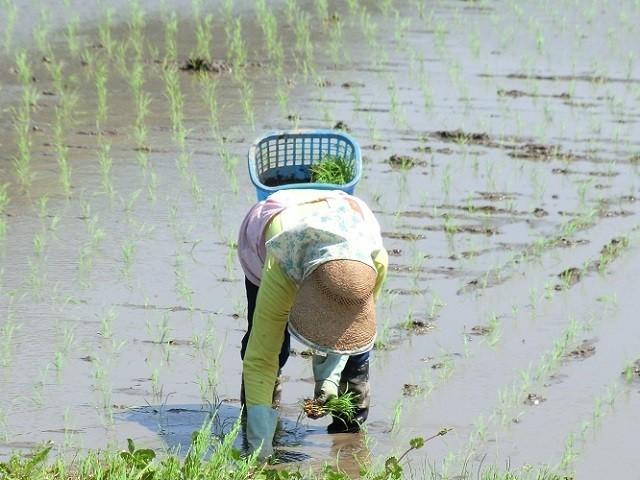 愛媛 三間産 減農薬 特別栽培米 令和3年産 ( もち米 ) 玄米 30kg 百姓直送 送料無料 宇和海の幸問屋_画像2