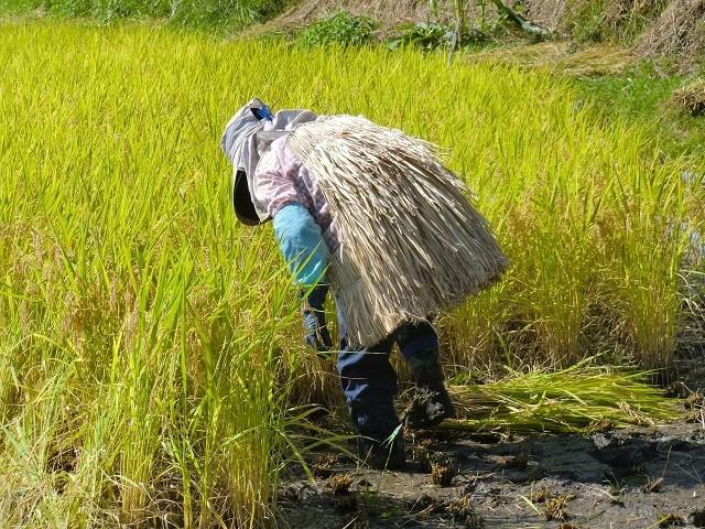愛媛 三間産 減農薬 特別栽培米 令和3年産 ( もち米 ) 玄米 30kg 百姓直送 送料無料 宇和海の幸問屋_画像5