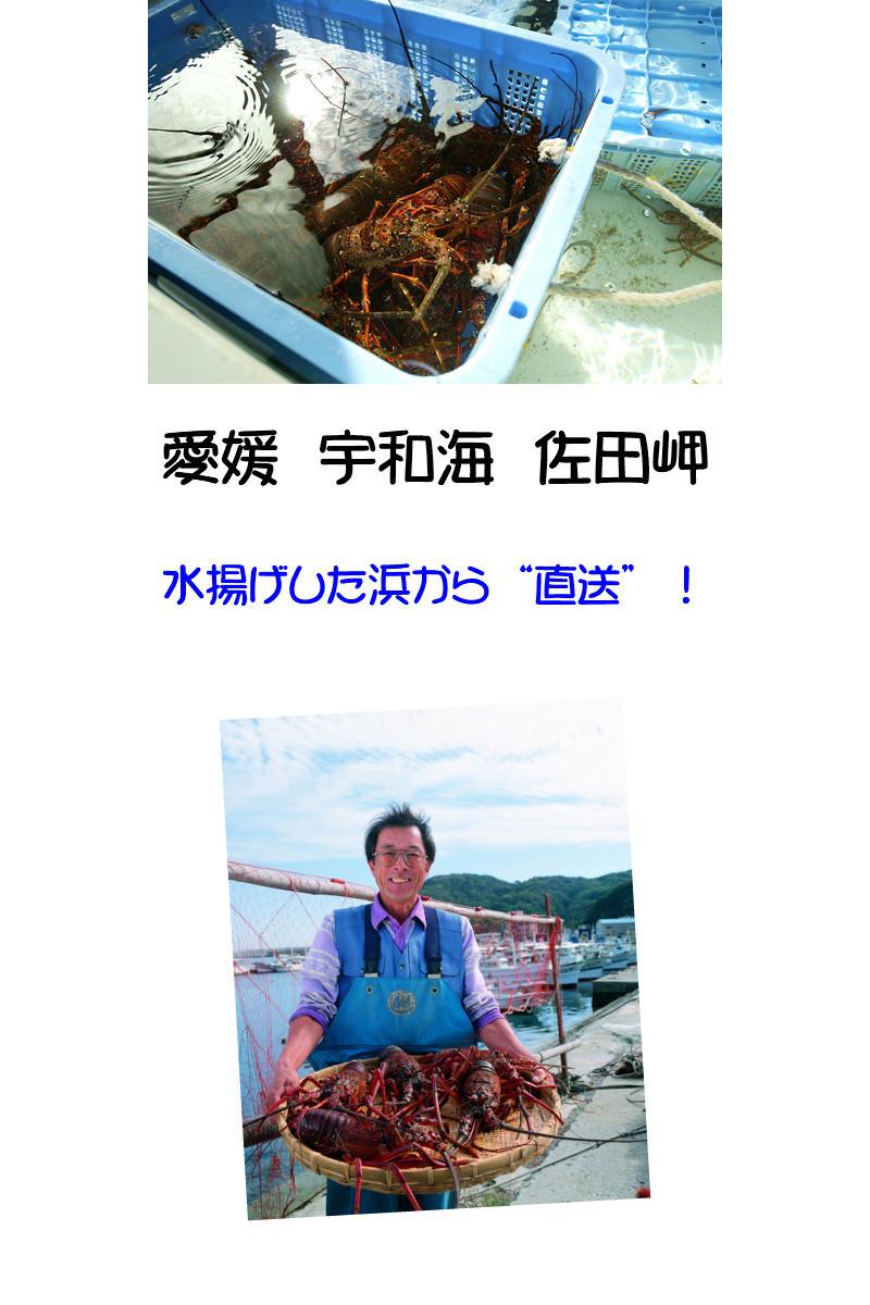 愛媛 活き ( 伊勢海老 ) 1-2尾 200-250g分 刺身 焼物 茹でる 汁物 送料無料 宇和海の幸問屋_画像6