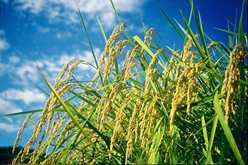 5kg こしひかり 【精米】新潟県北越後産 5kg 特別栽培米白米 平成30年産_画像4