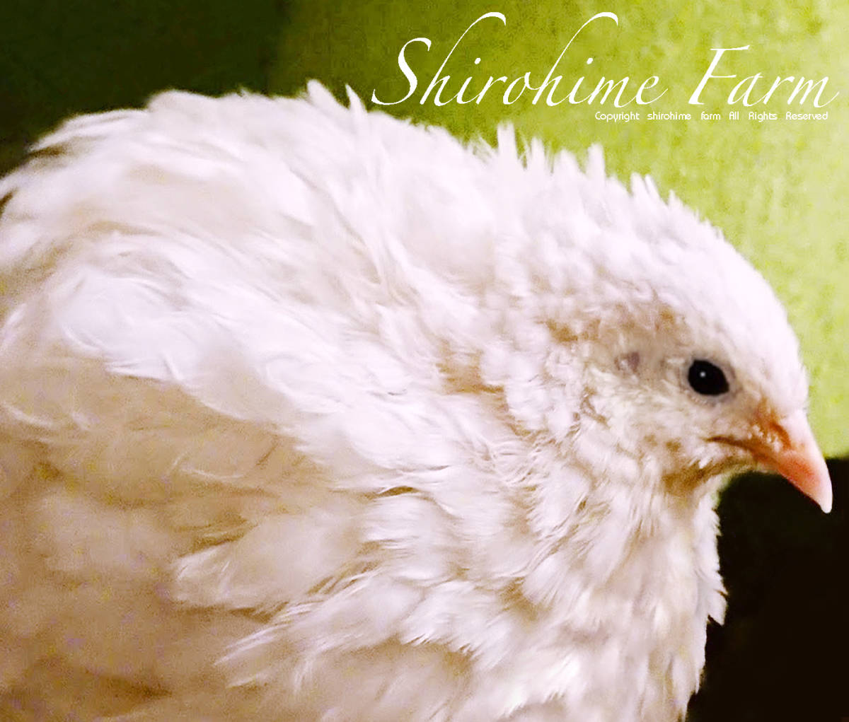 ◆超艶麗見惚れる美しさ◆ Caille Royale ヒメウズラ 白姫【セレブ】の有精卵 ◆◆ 3個!!! ◆◆ 学名:Coturnix Chinensis_画像6