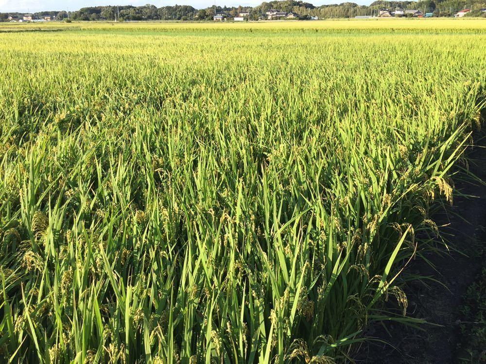 令和2年 茨城 茨城県産 JGAP認定農場 特別栽培米 こしひかり コシヒカリ 無農薬 10kg 低温貯蔵庫 玄米 米 ご飯 精米_画像3