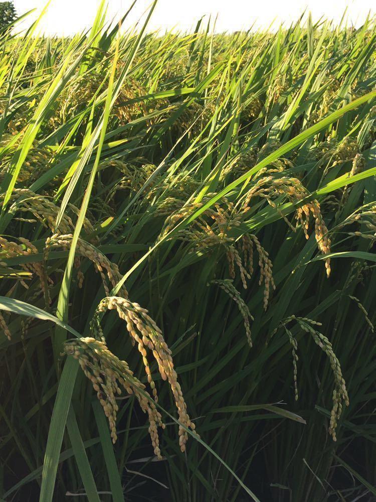 令和2年 茨城 茨城県産 JGAP認定農場 特別栽培米 こしひかり コシヒカリ 無農薬 10kg 低温貯蔵庫 玄米 米 ご飯 精米_画像2