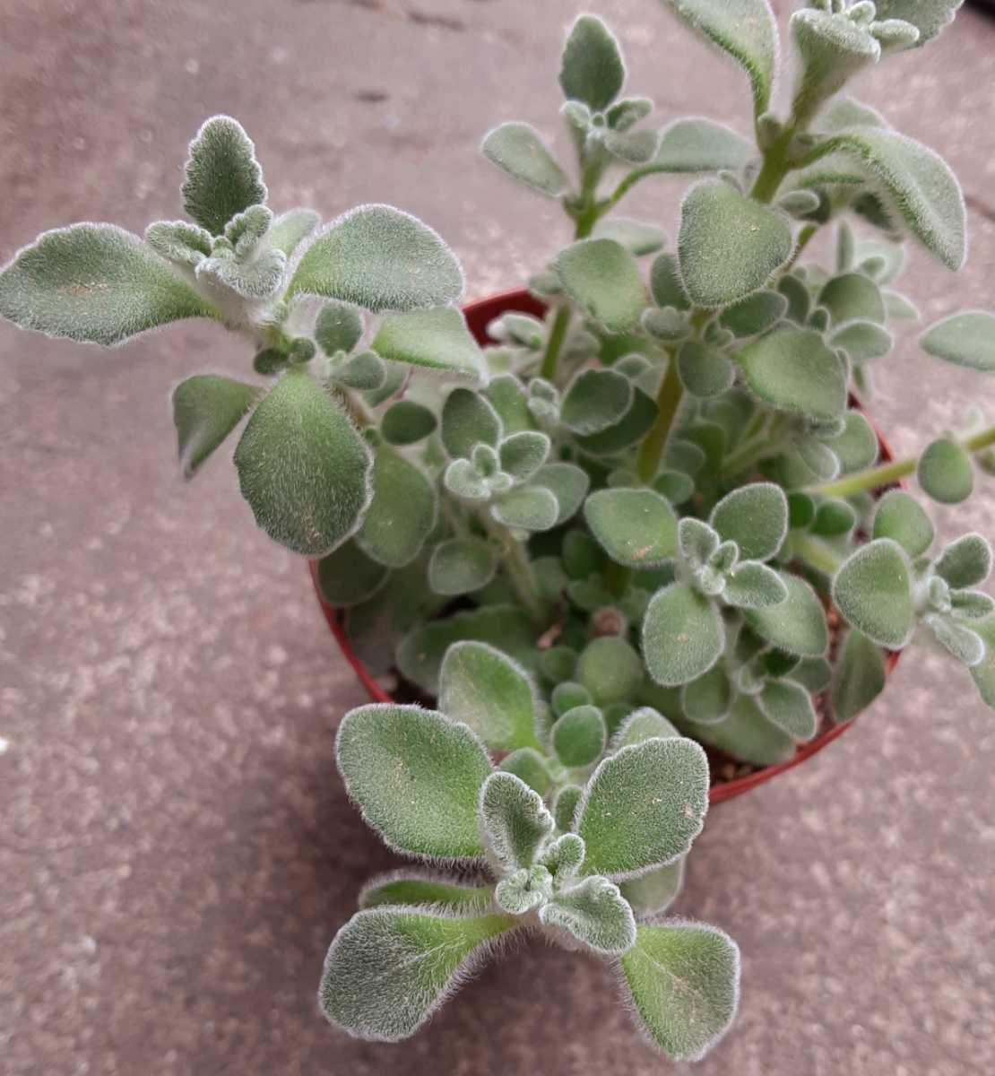 オマケつき 多肉植物 ハーブ シルバーグラス プレクトランサス カット苗2本☆2~3cm程の大きさ、長さ_画像2