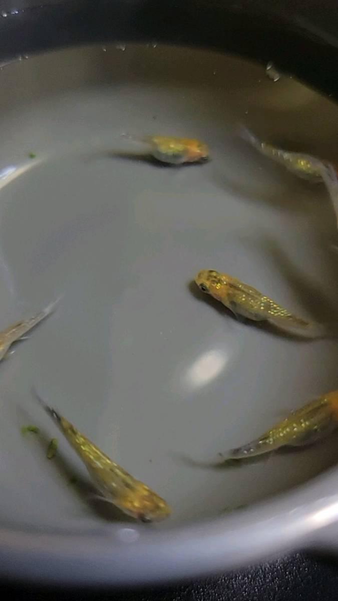 □FUNAメダカ□ オーロラ黄ラメ(新系統) 有精卵20個+α