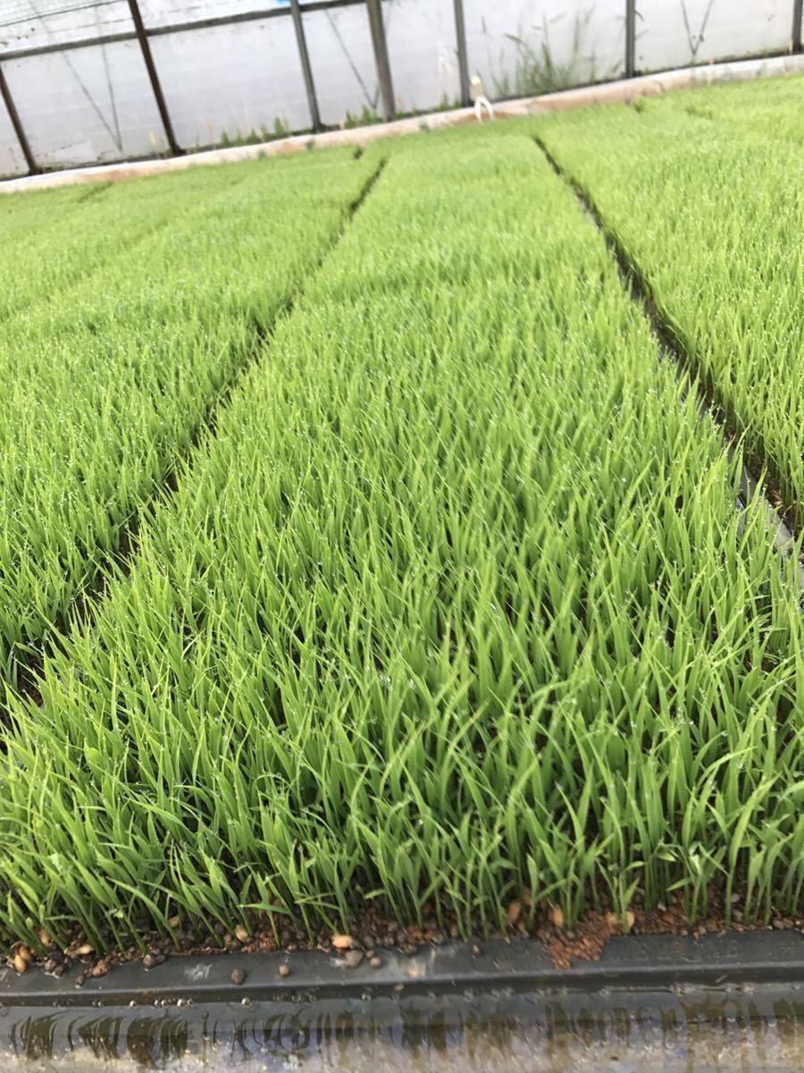 令和2年産 宮城県産 ひとめぼれ 特別栽培米 玄米20Kg 精米可 小分け可_画像2