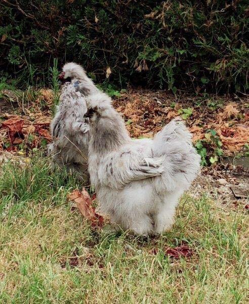 モコモコ烏骨鶏有精卵 うこっけいたまご6個(保証卵含む)_画像1