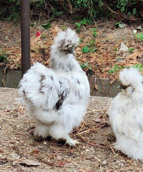 モコモコ烏骨鶏有精卵 うこっけいたまご6個(保証卵含む)_画像2