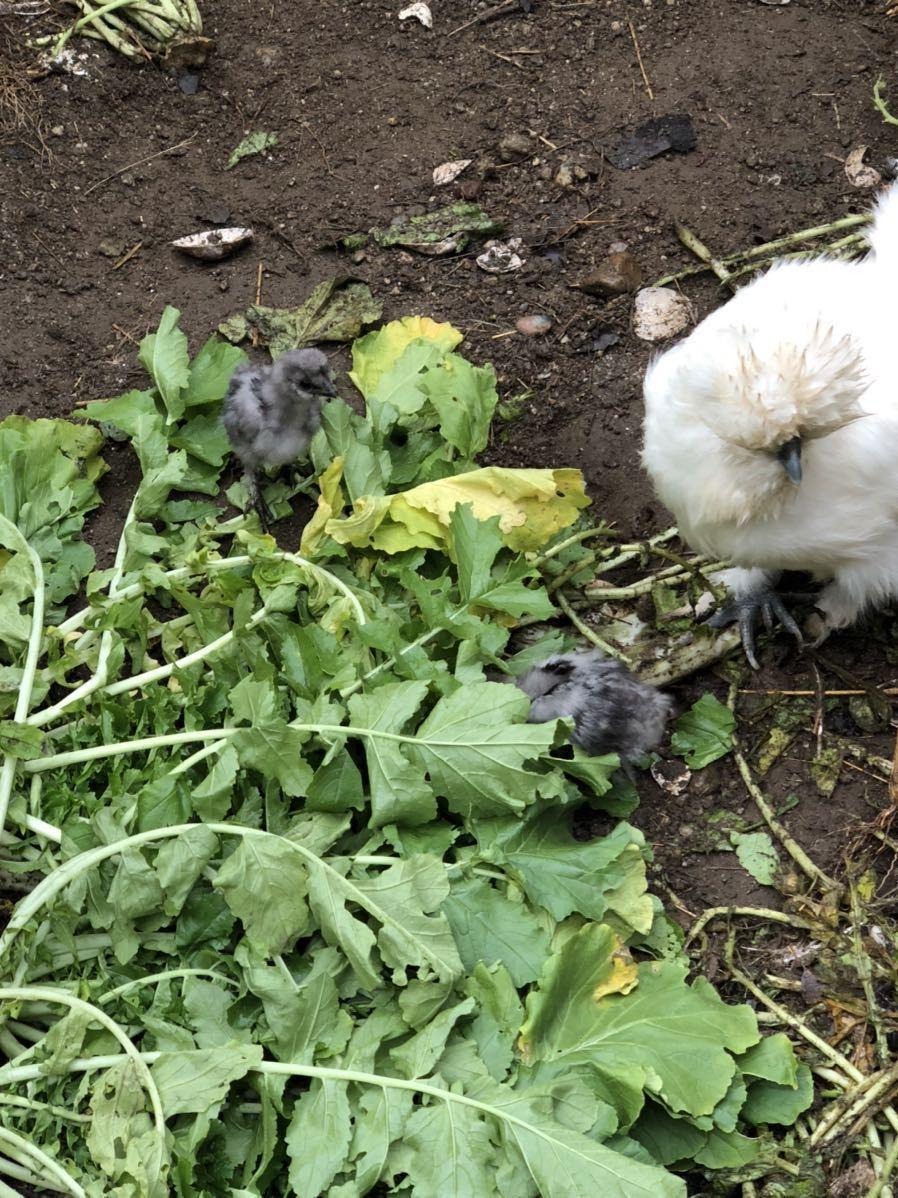 モコモコ烏骨鶏有精卵 うこっけいたまご6個(保証卵含む)_画像7