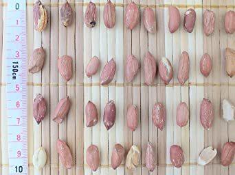 千葉県産 素煎り落花生 中粒 500g 無塩 うす皮付き ピーナッツ 大容量 お得用 訳あり品_画像4