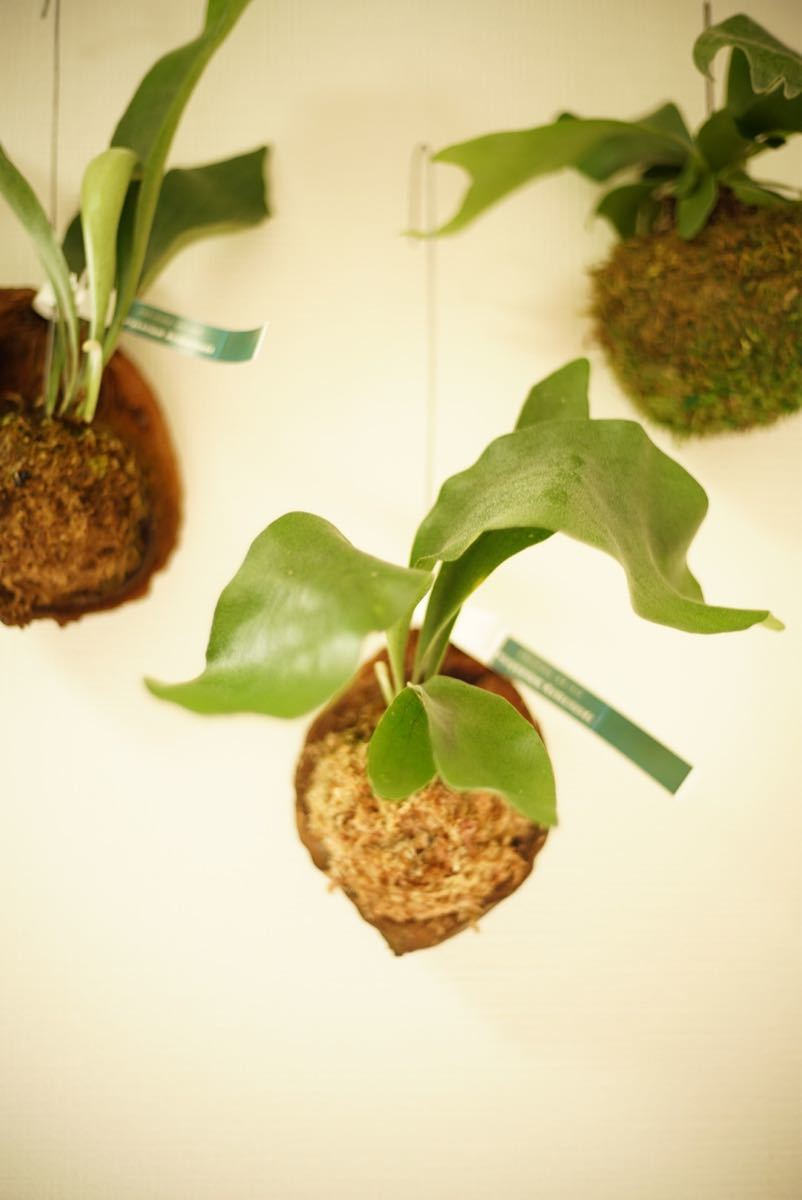 ビカクシダ ネザーランド ヤシの実 コウモリラン 観葉植物