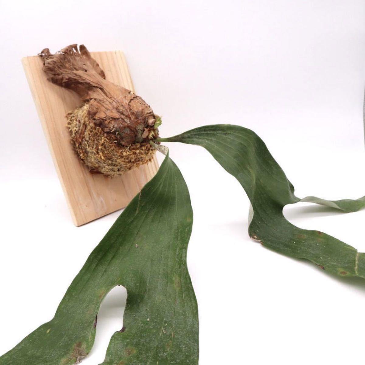 ビカクシダ ステマリア ホワイト P.stemaria cv.white 板付け 観葉植物 コウモリラン P2108-11