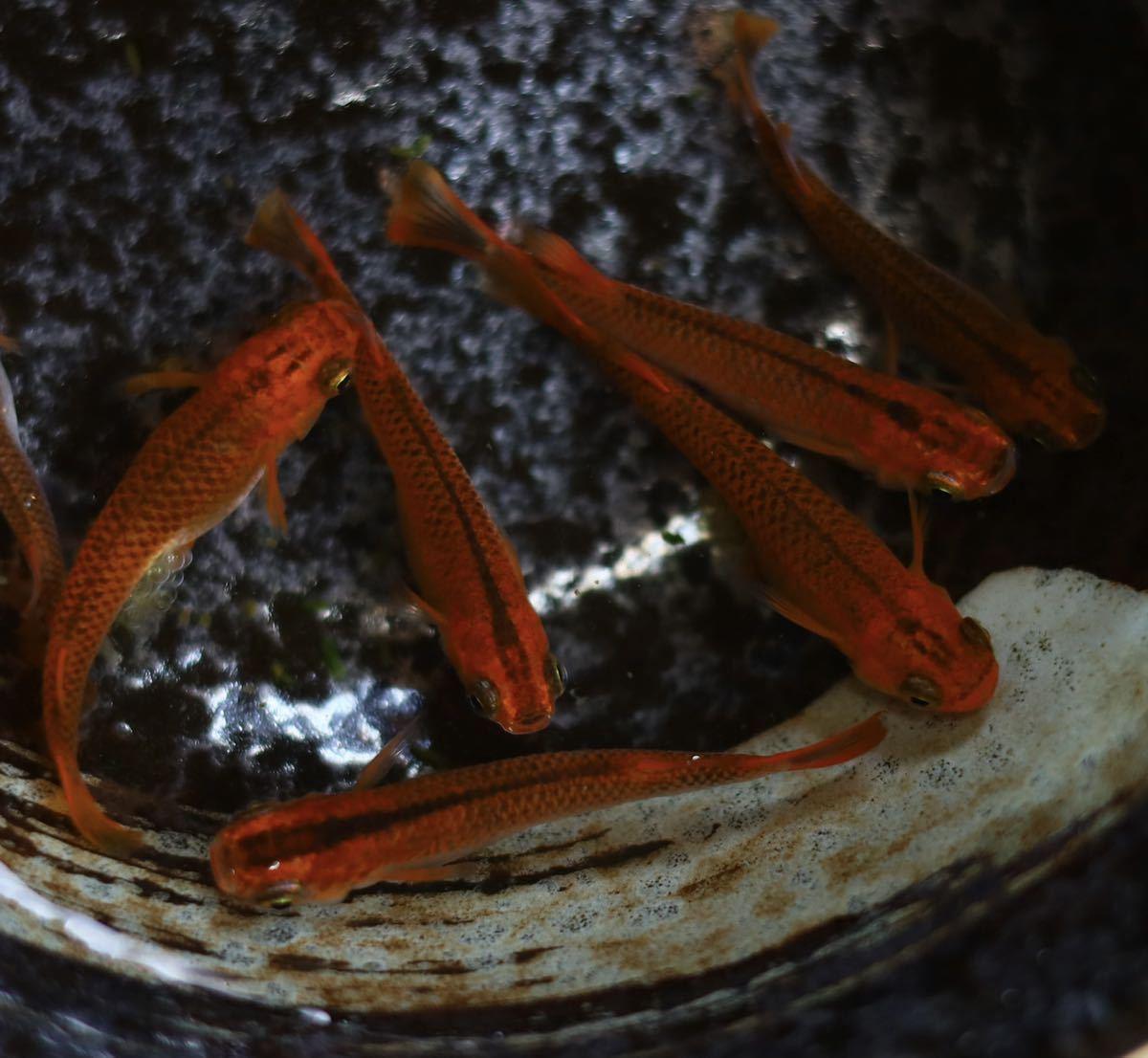 優良血統!! 《即決》 有精卵 増量30個+α メダカ レッドドラゴン 大人気の品種です!! A_画像5