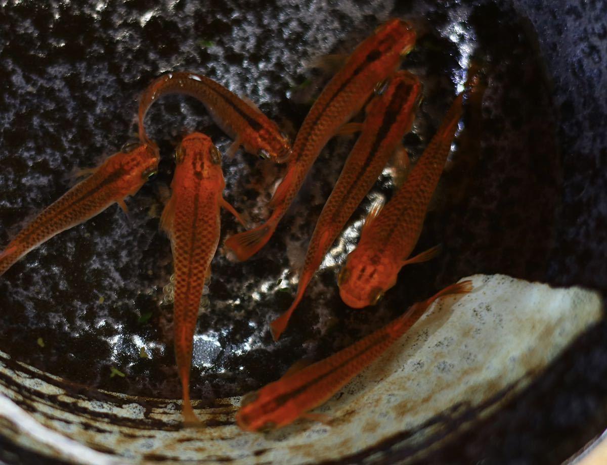 優良血統!! 《即決》 有精卵 増量30個+α メダカ レッドドラゴン 大人気の品種です!! A_画像7