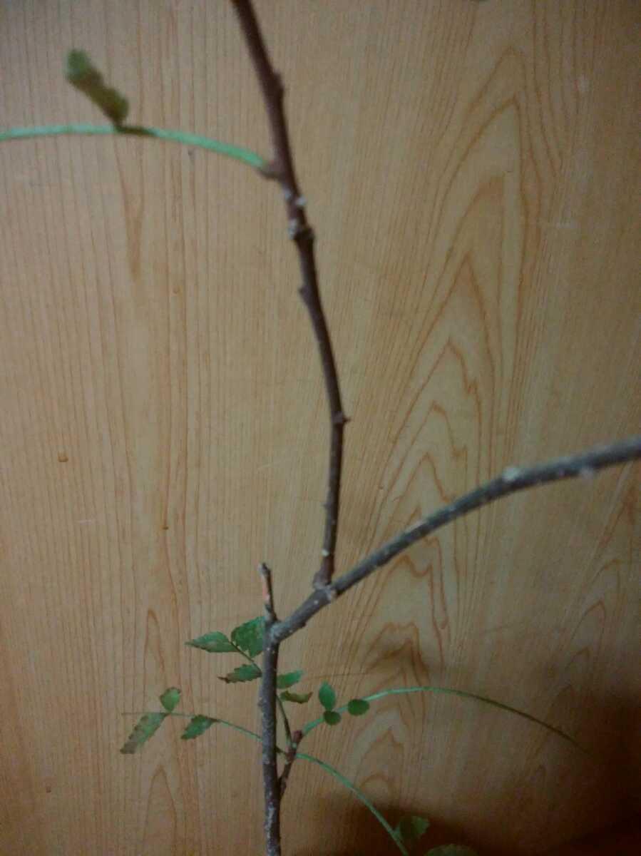 山椒の木 _画像3