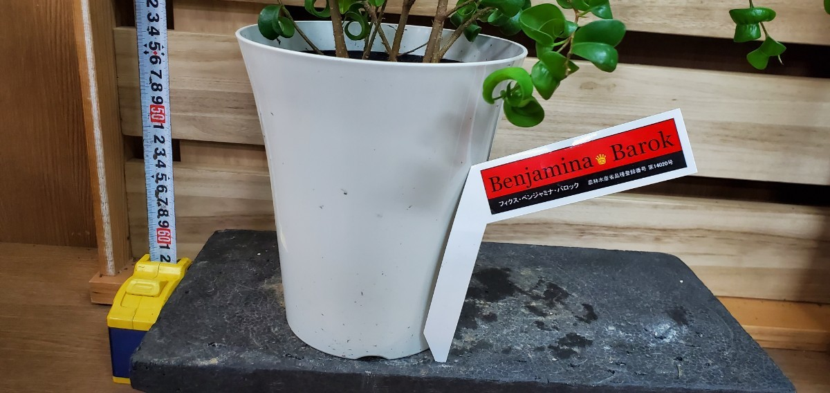 観葉植物『ベンジャミンナ・バロック』6寸