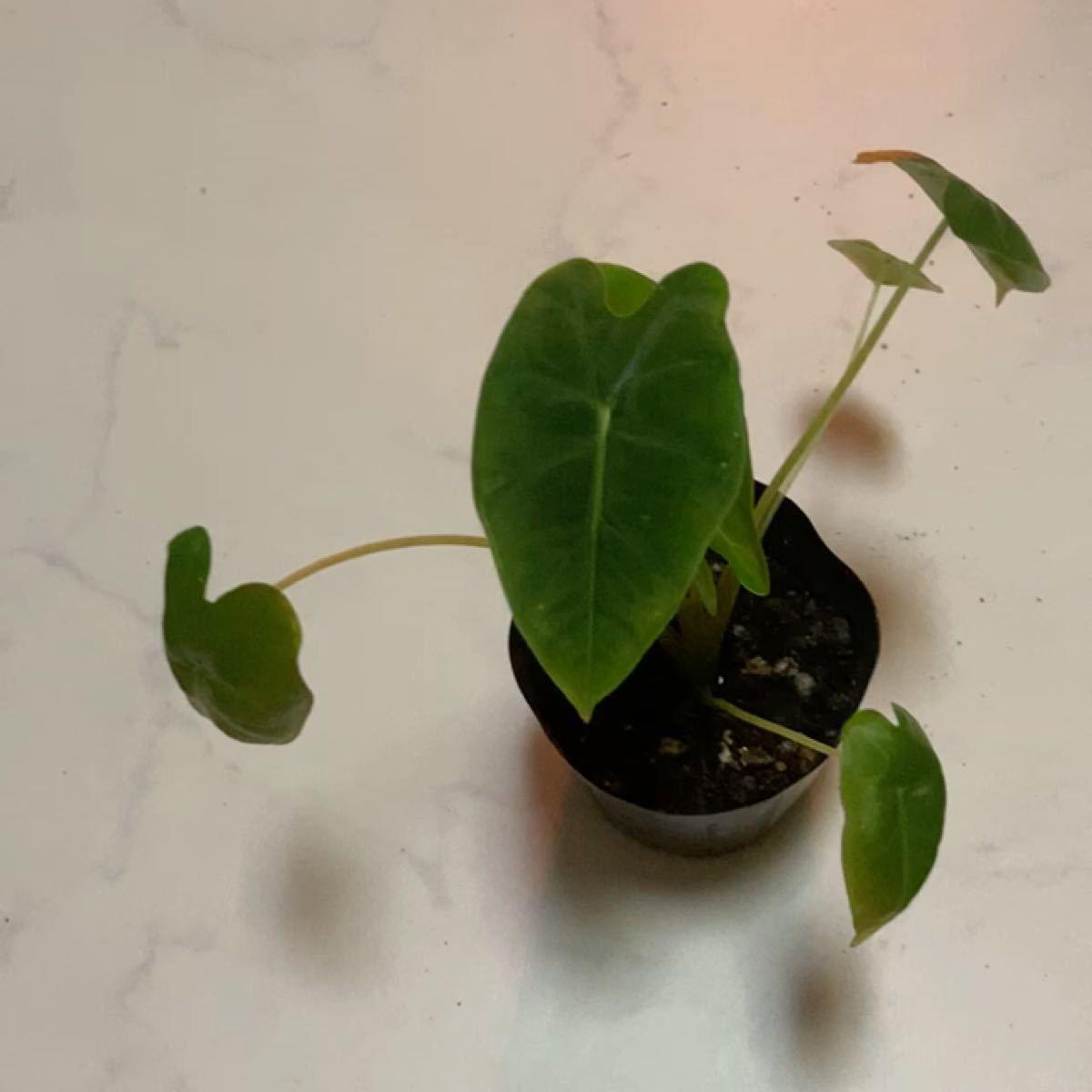 アロカシア グリーンベルベット 抜き苗1