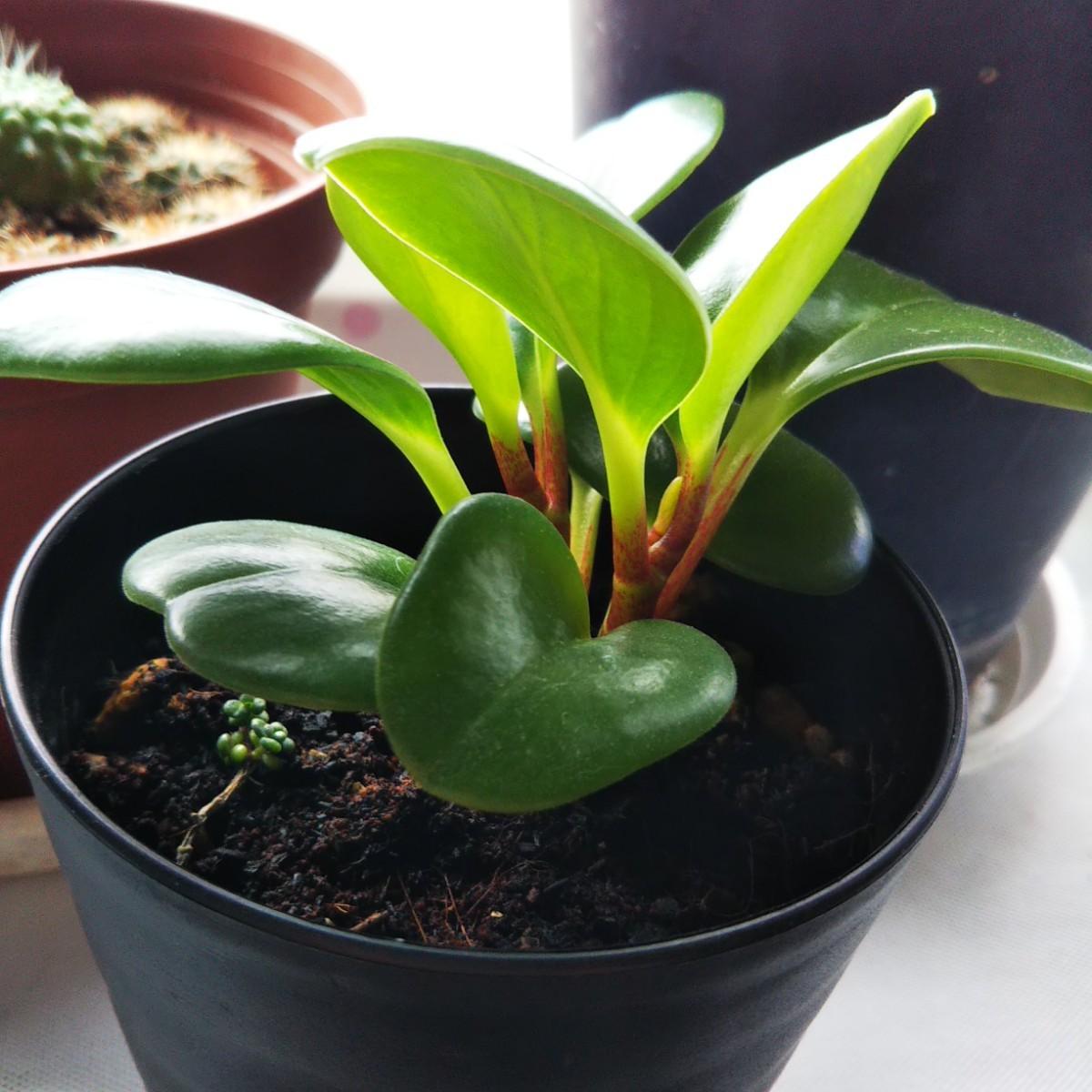 観葉植物ペペロミア抜き苗