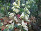 ジギタリス ドワーフ カリヨン 矮性 珍しい淡黄色 種100粒