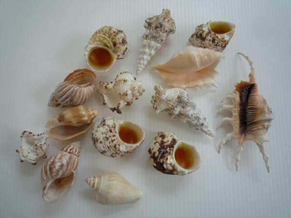 ★ 貝の置物 14点セット ★ 貝 小さめ インテリア_画像1
