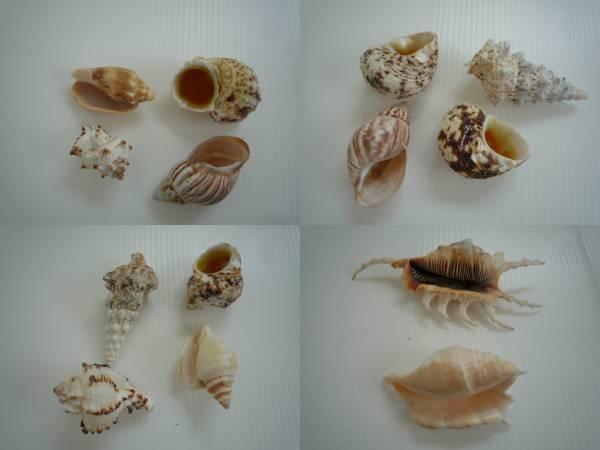 ★ 貝の置物 14点セット ★ 貝 小さめ インテリア_画像3