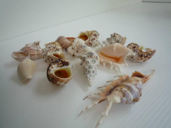 ★ 貝の置物 14点セット ★ 貝 小さめ インテリア_画像2