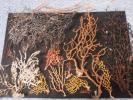 イソバナ他 貝殻貝標本カニ図鑑アクアリウム鉱石美術水槽熱帯魚