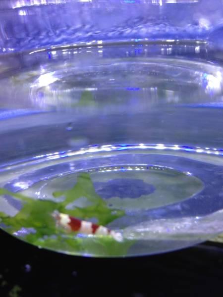 富士山麓発☆赤白☆紅白☆海老☆レッドビーシュリンプ☆20匹セット☆ロングセラーで今でも大人気なエビです☆飼育も繁殖も簡単な淡水の品種_季節に応じ適温な梱包状態で発送いたします
