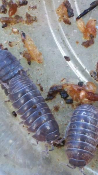 土壌改善に最適! ダンゴムシ 110匹 コンポスト 爬虫類や熱帯魚のエサにも_画像2