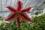 ヤマユリ 赤筋 、直径約3,5cm、開花球、 無病球