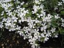 ロックソープワート サポナリアオキモイデス 白花 種30粒
