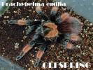 SALE!メキシカンレッドレッグ【Brachypelma emilia】 2cm タランチュラ